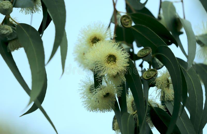 Fond floral Fleurs blanches pelucheuses douces d'eucalyptus contre le ciel image stock