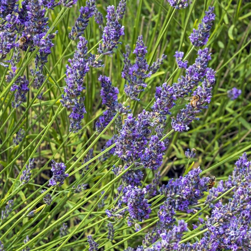 Fond floral naturel avec le plan rapproché du gisement de fleur de lavande, wildflowers aromatiques pourpres vifs en nature image libre de droits