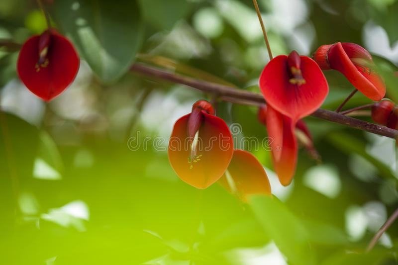 Fond floral naturel d'Erythrina Crista-galli photo stock