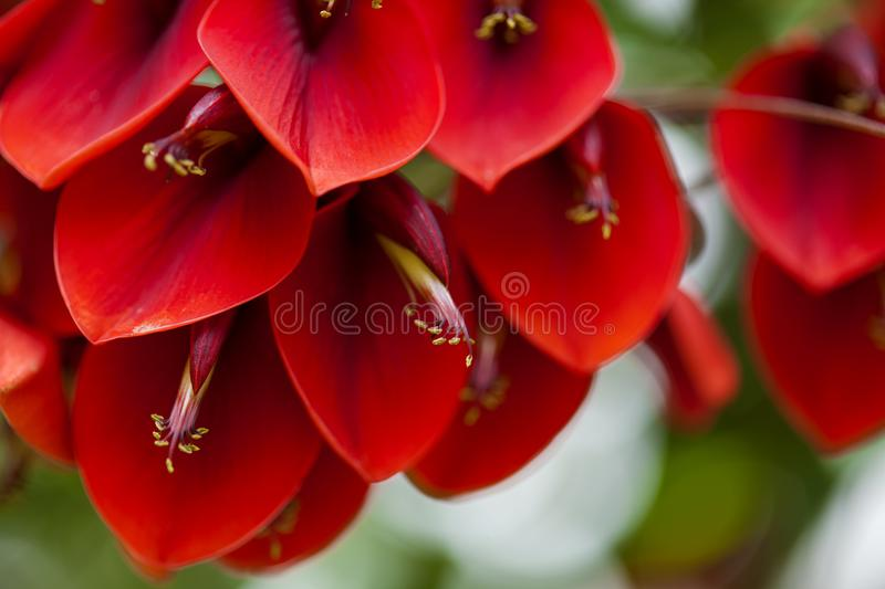 Fond floral naturel d'Erythrina Crista-galli photographie stock