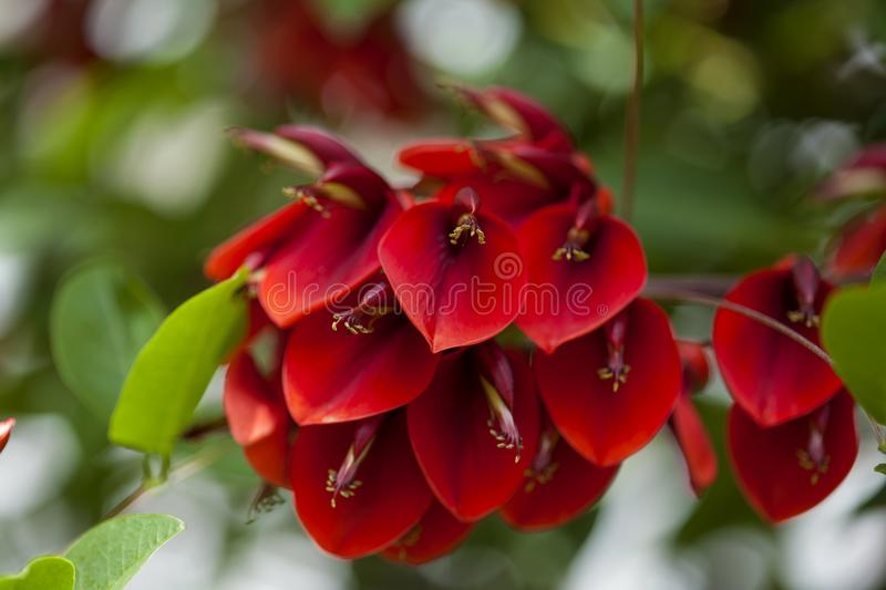 Fond floral naturel d'Erythrina Crista-galli photographie stock libre de droits