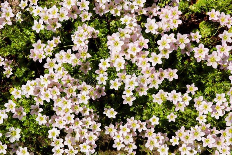 Fond floral Petit jardin de mousse de saxifrage de fleurs blanches au printemps image libre de droits
