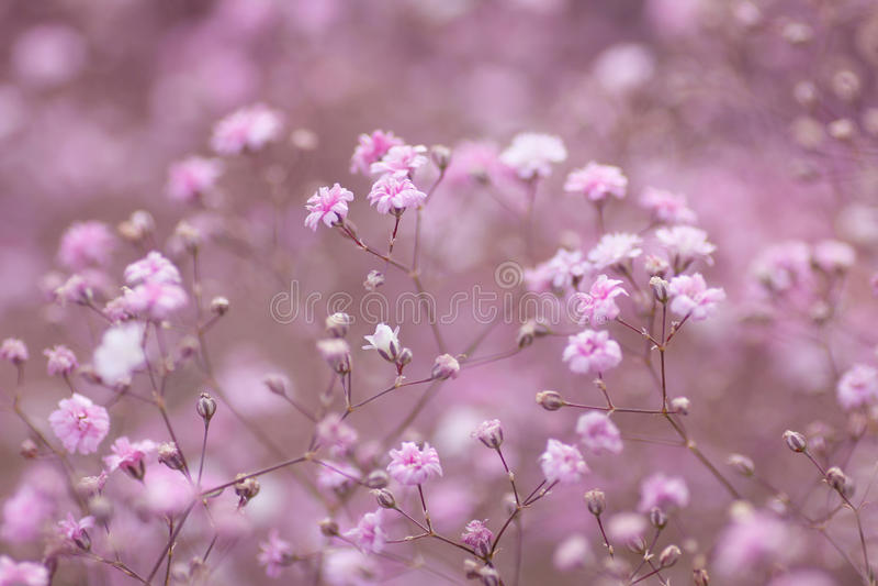 Fond floral rose-clair de paniculata de gypsophila photographie stock libre de droits