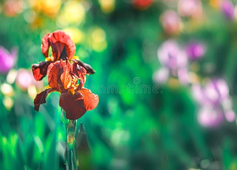 Fond floral saturé lumineux avec la tache floue Iris rouge-brun de floraison en gros plan de jardin Foyer sélectif et flou image stock