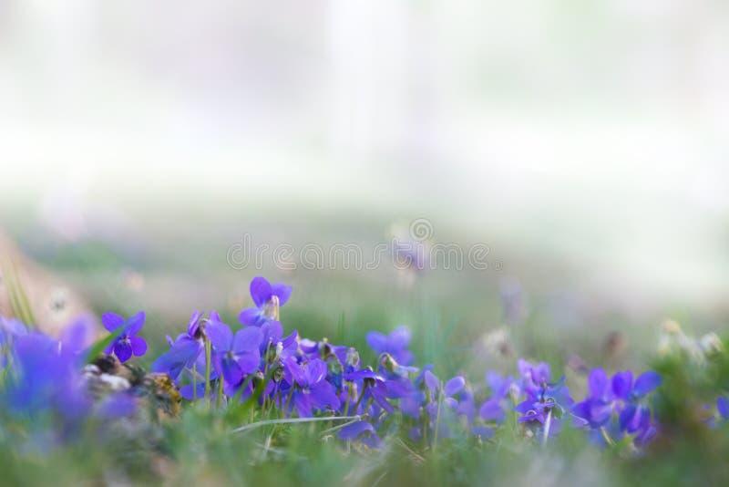 Fond frais de ressort avec les fleurs bleues minuscules image stock