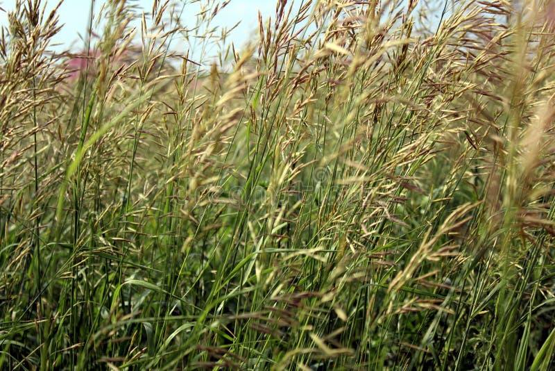 Fond grand sauvage d'herbe ?pillets d'herbe de champ photo libre de droits