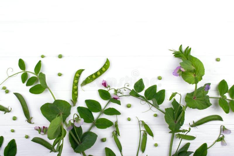 Fond herbacé floral Tige de pois avec la fleur et la feuille pourpres, cosses sur le fond blanc photos stock