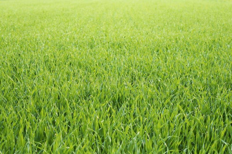 Fond herbeux photographie stock libre de droits