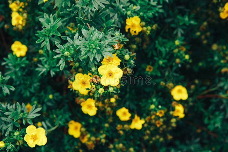 Fond jaune de fleurs de jardin images stock