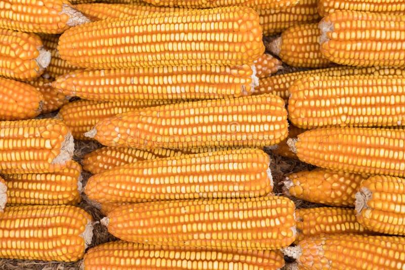 Fond jaune doux de maïs Épi de maïs culture dans l'agriculture Ind images stock