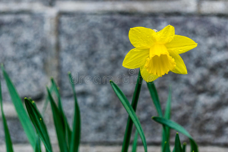 Fond jaune simple de blure de fleur de narcisse de jonquille photo stock