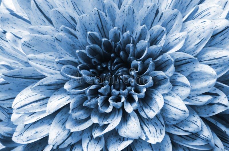 Fond, macro et détails de fleur d'aster bleu photographie stock libre de droits