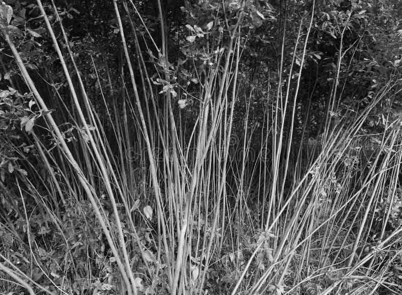 Fond mince noir et blanc diagonal de troncs d'arbre photographie stock libre de droits