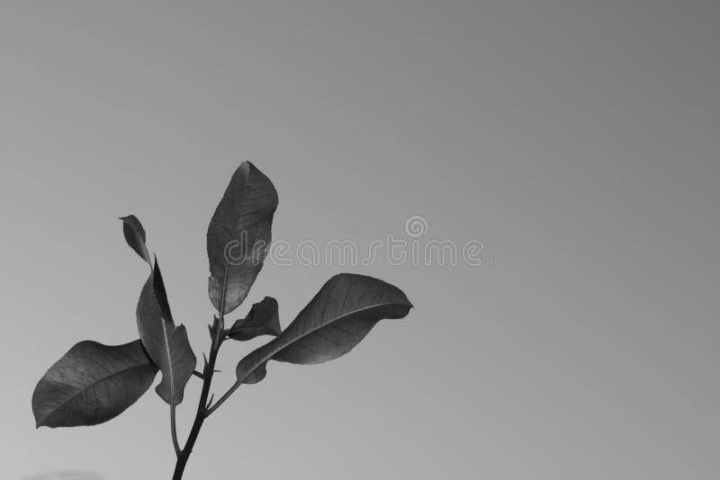 Fond minimal noir et blanc avec des feuilles images stock