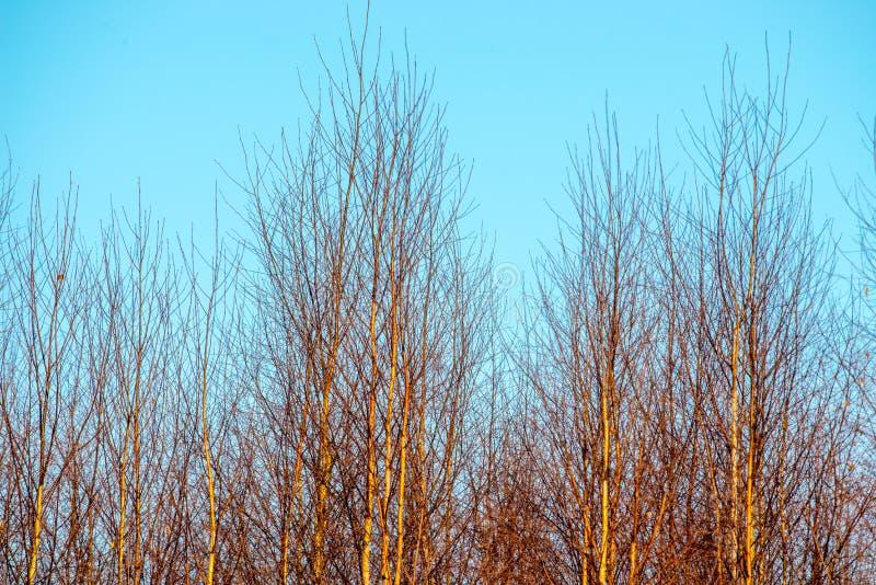 Fond minuscule d'arbres de bouleau et ciel bleu photos stock