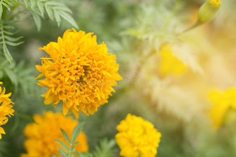 Fond mou de fleur jaune et orange de souci image libre de droits