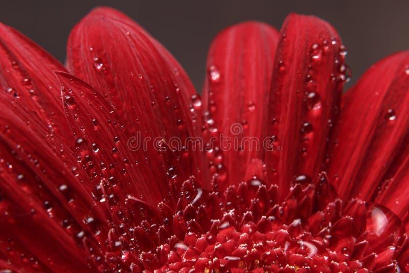 Fond naturel Détails photographie de Gerber de fleur rouge de la macro Macro vue de la texture et du fond abstraits p organique d photos libres de droits