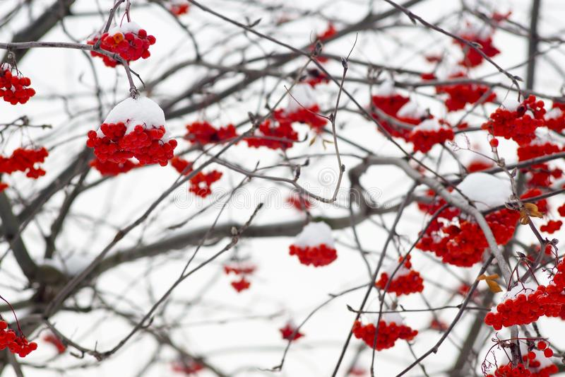 Fond naturel d'hiver des buissons de cendre de montagne photos stock