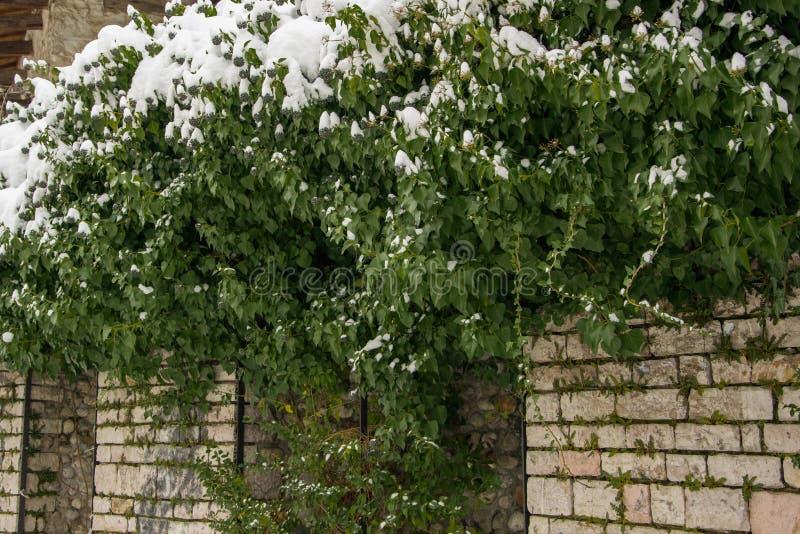 Fond naturel de lierre neigeux sur le mur en pierre images libres de droits