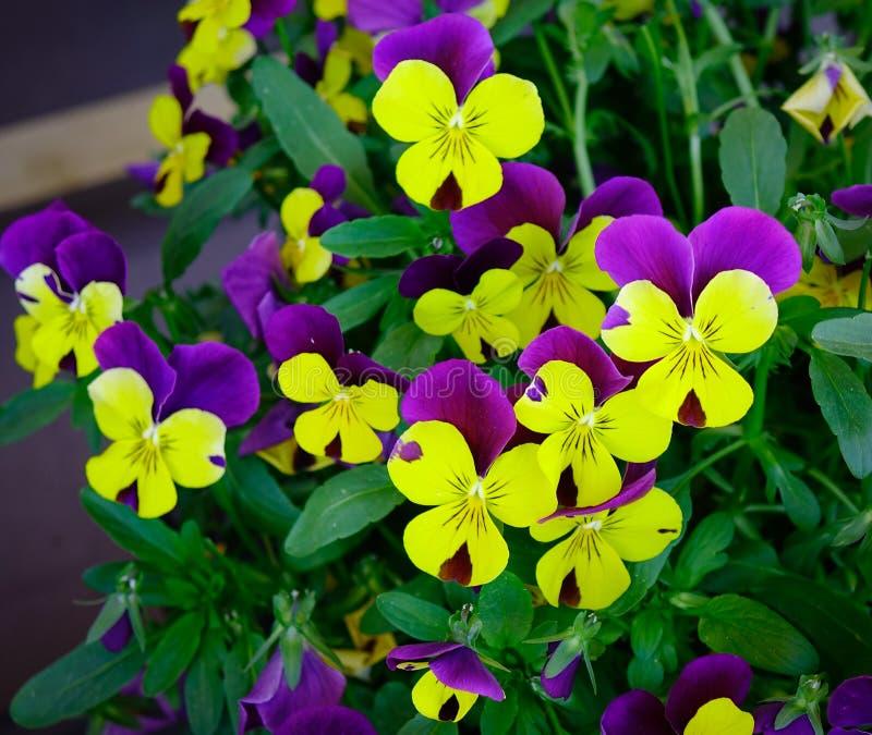 Fond naturel de pensée d'usine colorée de fleur images stock