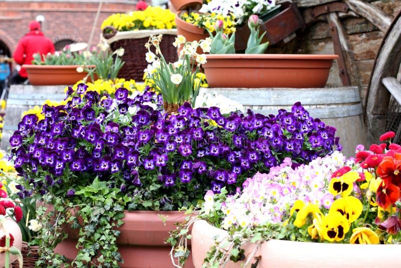 Fond naturel de pensée d'usine tricolore de fleur photo stock