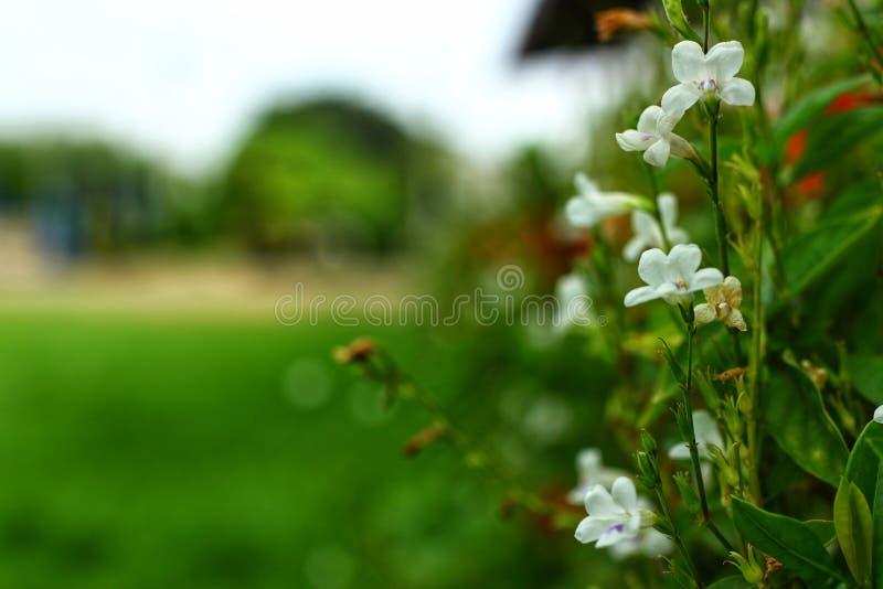Fond naturel de tache floue de belles fleurs blanches et de feuilles vertes en ?t?, images pour les milieux abstraits photo libre de droits