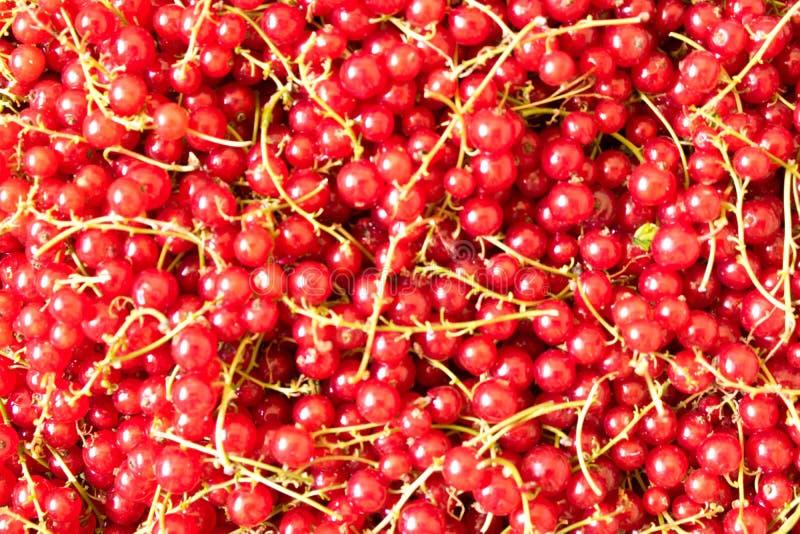 Fond naturel des baies fraîches de groseille rouge Consommation saine images libres de droits