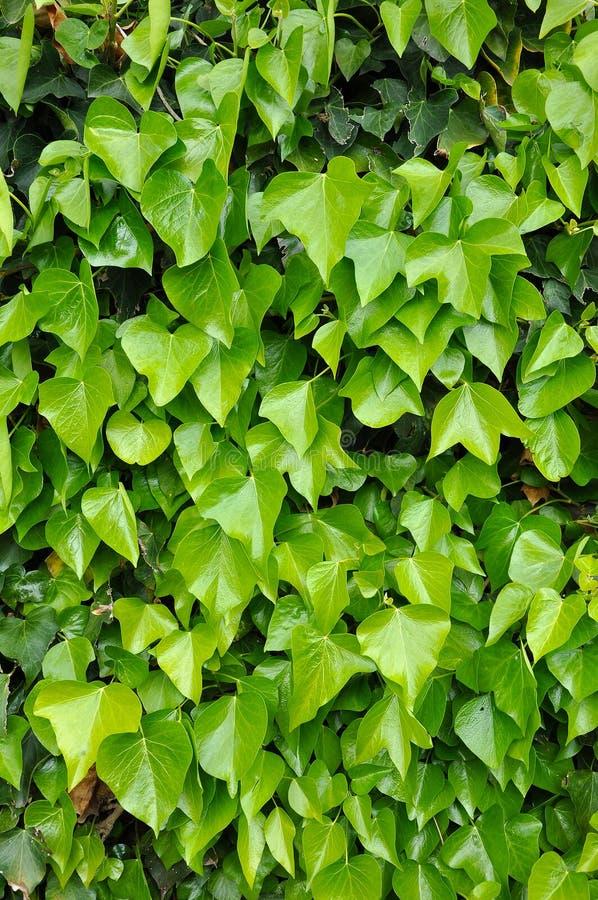 Fond naturel des feuilles vertes vibrantes de lierre photos stock