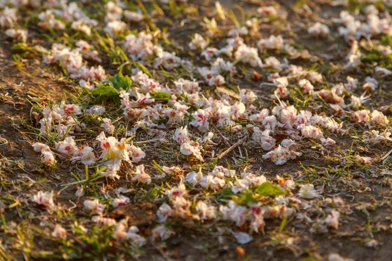 Fond naturel Fleurs blanches et roses tombées de l'arbre de châtaigne à l'herbe de ressort Plan rapproché, foyer sélectif photographie stock
