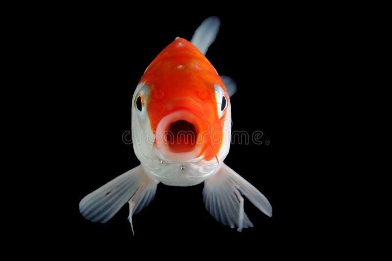 Fond noir de poissons de Koi image libre de droits