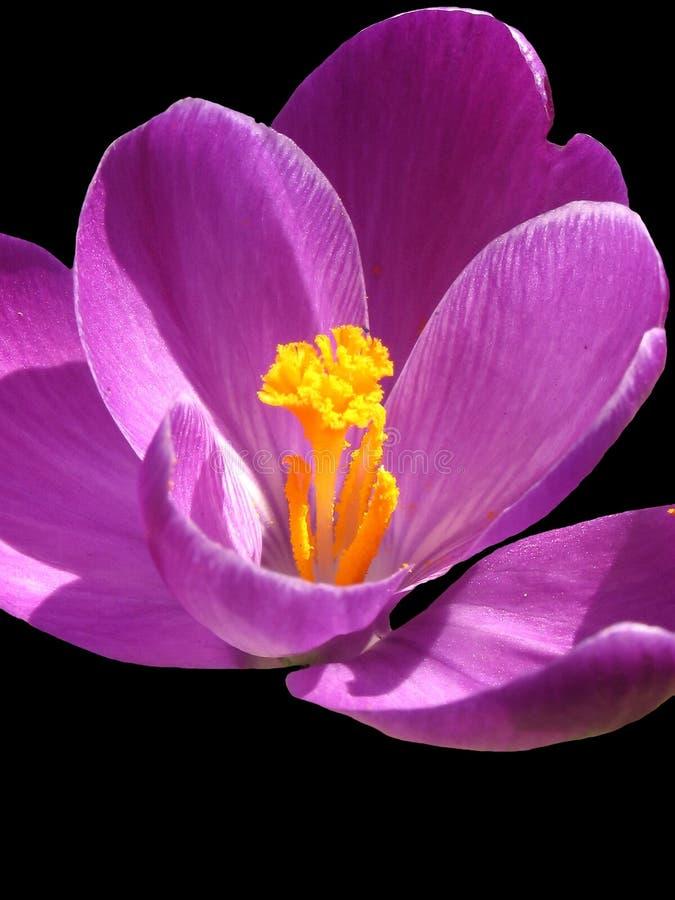 Download Fond noir de safran image stock. Image du floral, macro - 89861
