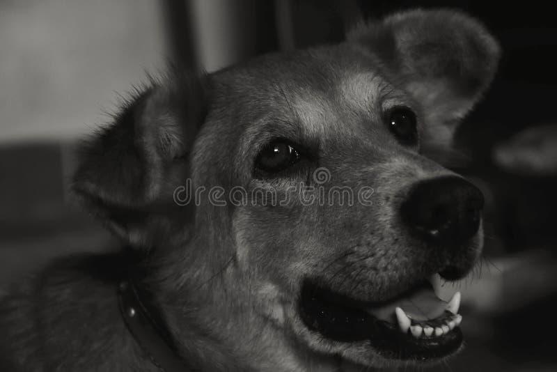Fond noir et blanc de chien triste photo libre de droits