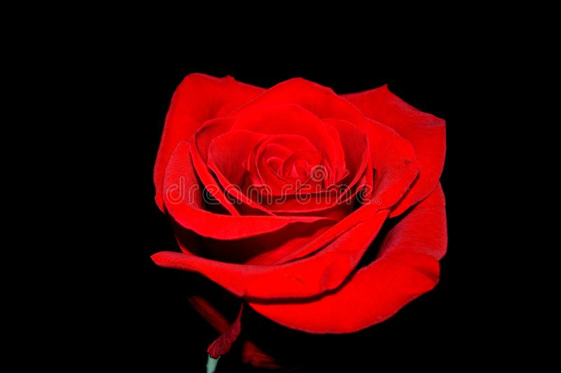 Fond noir rouge de Rose photographie stock