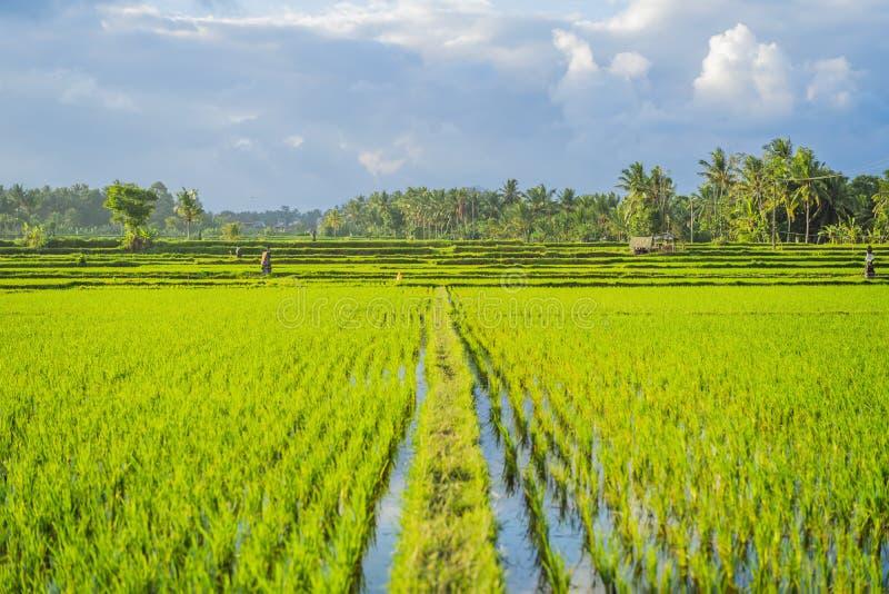 Fond nuageux d'horizontal de nuage de ciel bleu d'herbe verte de gisement de riz photographie stock