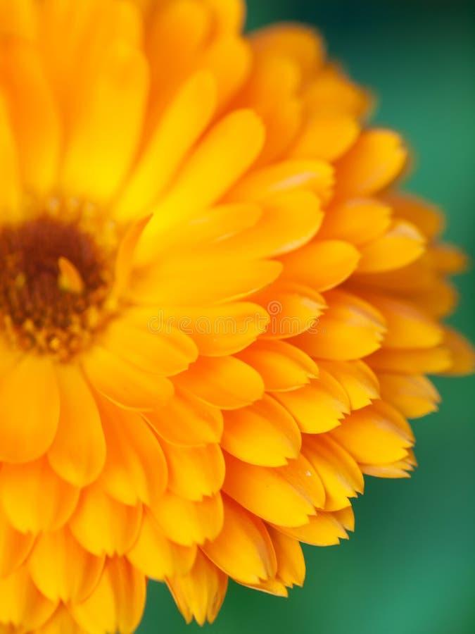 Fond orange de calendula de fleur Macro projectile extrême image libre de droits