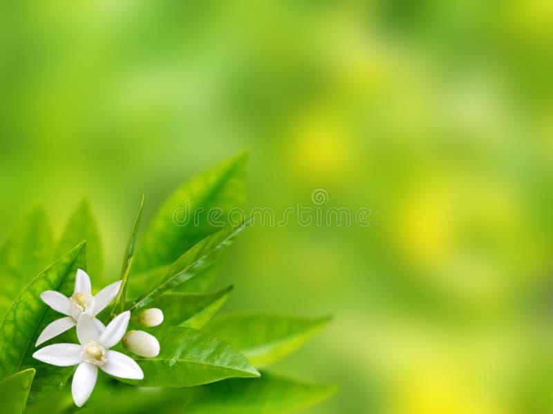 Fond orange de ressort de fleurs blanches photo libre de droits
