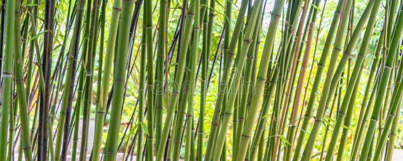 Fond panoramique de bambous verts image stock