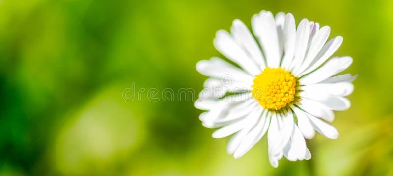 Fond panoramique de vert de fleur de marguerite blanche de bannière photographie stock