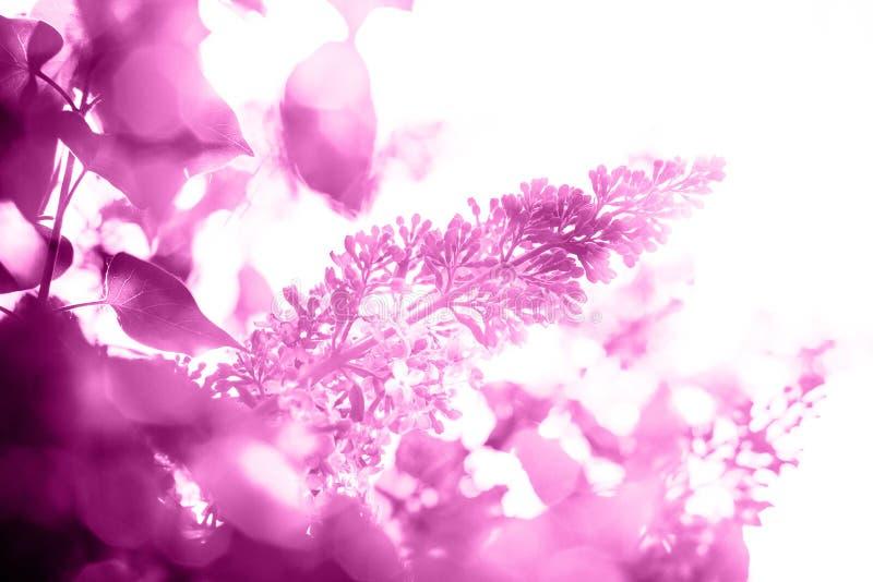 Fond pourpre lumineux de résumé avec le lilas images stock