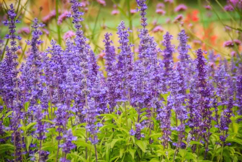 Fond pourpre sage de fleur de Mealycup (farinacea de Salvia) Salvi photographie stock libre de droits