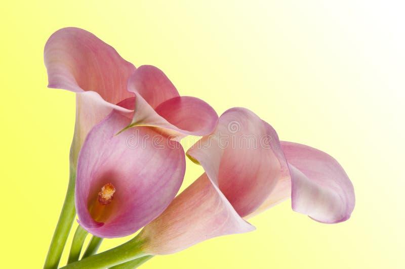 Fond radiant de zantedeschia images stock