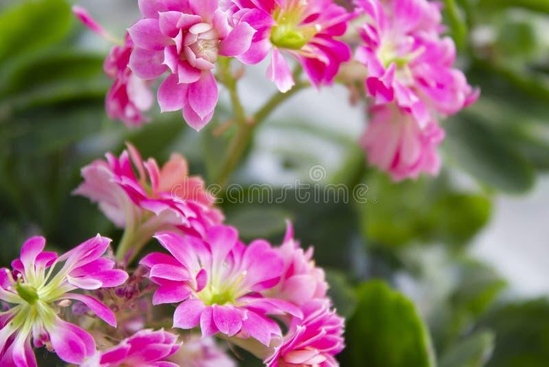 Fond rose à la maison de fleur avec des feuilles photos stock