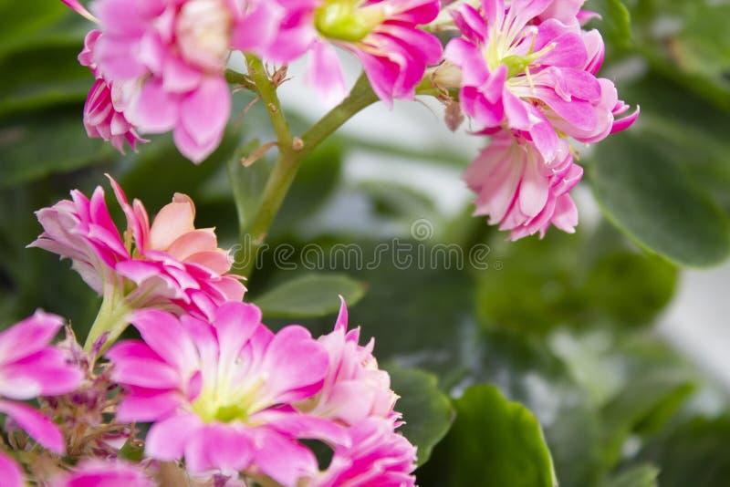 Fond rose à la maison de fleur avec des feuilles photographie stock