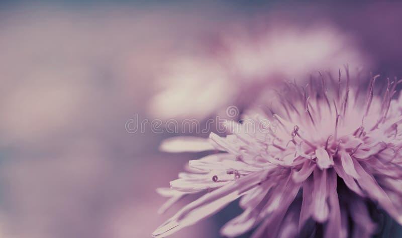 Fond rose-bleu de ressort Fleur rose de pissenlit sur un fond pourpre closeup Pour la conception Vue de côté photographie stock
