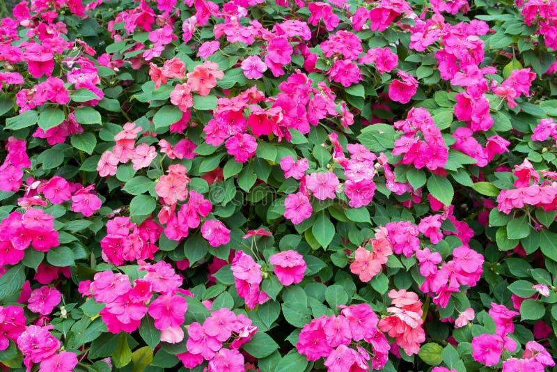 Fond rose coloré de fleurs d'impatiens photos stock