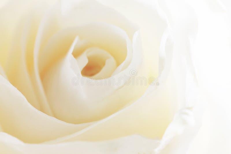 Download Fond rose de blanc image stock. Image du closeup, crème - 77161971