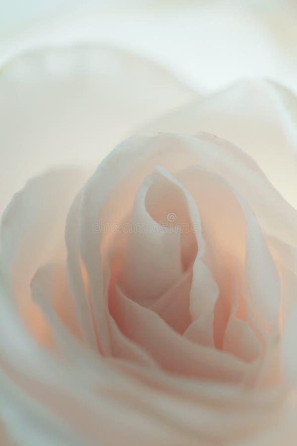 Download Fond rose de blanc photo stock. Image du beauté, flore - 77163052