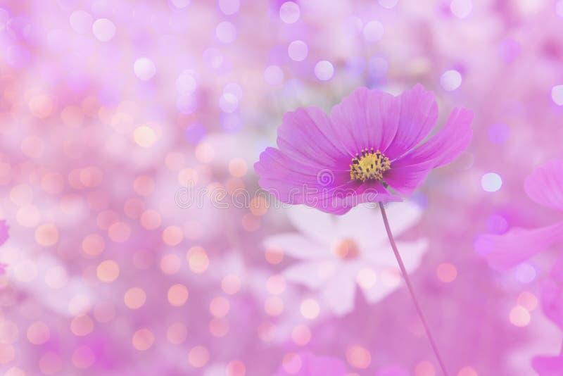 Fond rose de fleur de cosmos avec le bokeh photo libre de droits