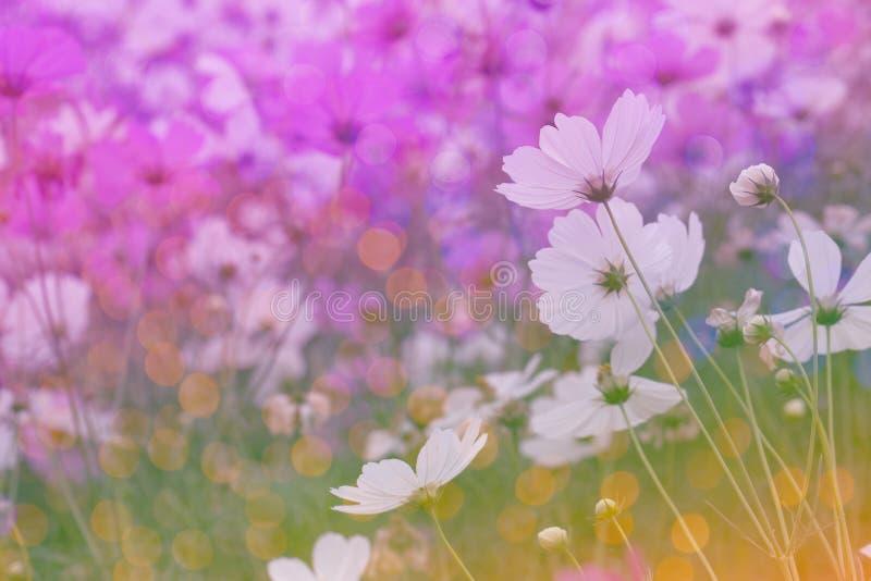 Fond rose de fleur de cosmos avec le bokeh image libre de droits