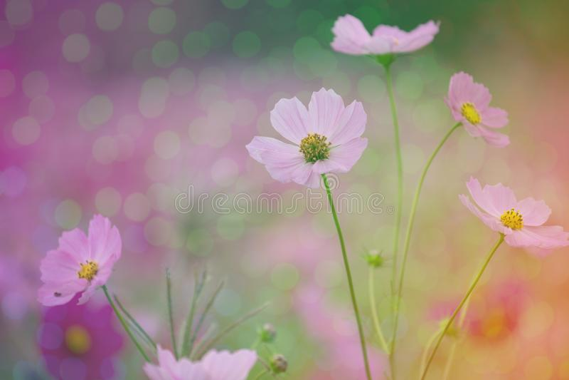 Fond rose de fleur de cosmos avec le bokeh images libres de droits